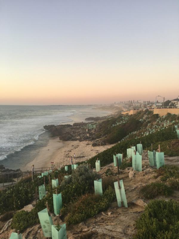 Revegetation along the coastline